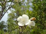 Bee_on_leatherwood